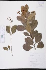 Fragrant Plants Florida - bourreria succulenta species page isb atlas of florida plants