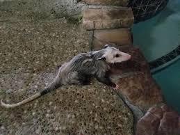 opossum pool rescue is a success
