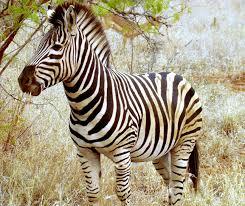 130 best cebras images on pinterest animals zebra wallpaper and