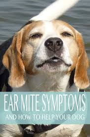 ear mites in dogs causes symptoms and treatment options