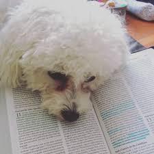 bichon frise fluffy bichon frise puppy cosette reading the bible fluffy friends