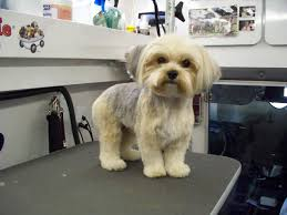 haircut for morkies club doggie mobile grooming salon before and after photo gallery
