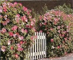 Scented Flowering Shrubs - how to create an imaginative hedge