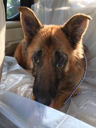 belgian shepherd killed justice for tiger the cat killed by veterinarian with bow u0026 arrow
