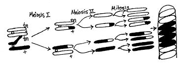 lab 3 sample ap mitosis u0026 meiosis biology junction