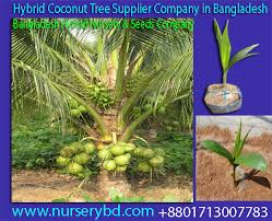 nurserybd aromatic green coconut seedling plant supplier