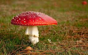 Types Of Garden Fungus - 10 poisonous mushrooms to watch out for in britain gardening