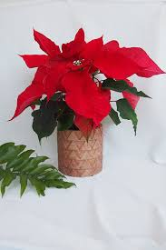 home prickle houseplants new zealand potted poinsettia 20cm