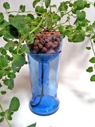 hydroponic garden in blue glass upcycled bottle indoor herb