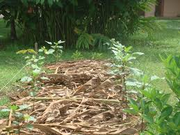 Mulching Vegetable Garden by My Little Vegetable Garden Mulching With Kantan Leaves