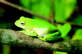 ssfp tree frogs annie shao