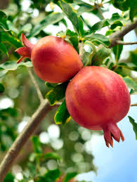 how to grow pomegranates grow this
