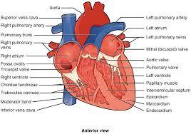 anatomy and physiology heart anatomy