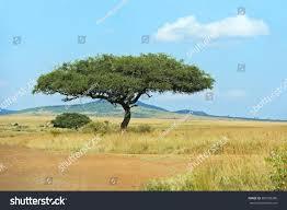 large acacia tree open savanna plains stock photo 387258286