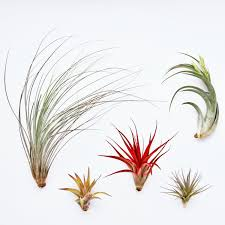 Air Plants 40 Stunning Photos Featuring Varieties And Types Of Air Plants