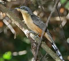 greater roadrunner bird watcher u0027s digest
