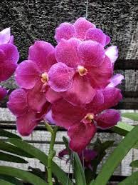 vanda orchids vanda orchid howstuffworks