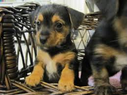 short haired dorkie mixes yorkie jack russell mix this is the doggie i want i
