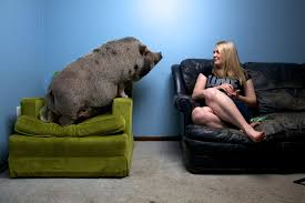 Big Joe Couch The Big Problem With Mini Pigs