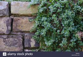 Wall Gardens Sydney by A Convolvulus Creeper Plant Hangs Over A Stone Wall In A Sydney