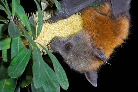not in my backyard how to live alongside flying foxes in urban