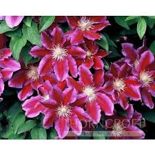 Climbing Plants For North Facing Walls - patio clematis thorncroft clematis ltd chelsea gold medal