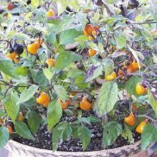 jim s favorite ornamental pepper seeds