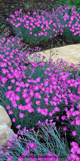 garden fragrance galore dianthus firewitch easy to grow