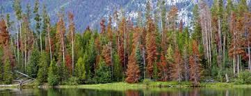 pine trees for sale bugs affecting pine trees willowcreek tree