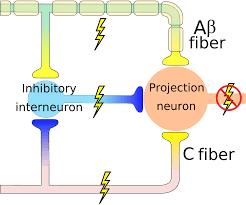 What Is Interneuron Wide Dynamic Range Neuron Wikipedia