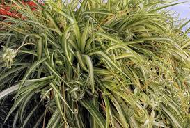 Plants Easy To Grow Indoors Spider Plants Are Easy To Grow Indoors And In The Garden