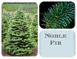 how to choose the best christmas tree as mom sees it