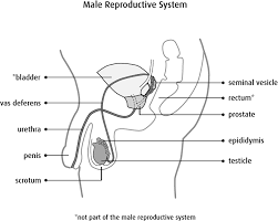 The Anatomy Of The Male Reproductive System What Is Testicular Cancer Canadian Cancer Society