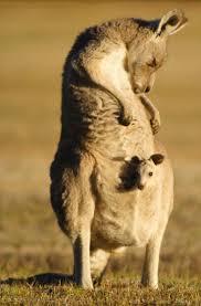 185 best kangaroos u0026 wallabies u0026 wombats images on pinterest