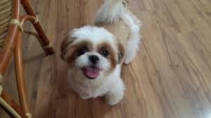 shih tzu dog adopted 6 years 5 months bobo from puchong