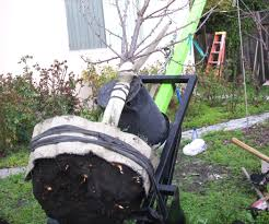 Transplant Fruit Trees - transplant a tree with a giant two wheel dolly 10 steps with