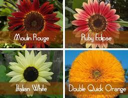 teddy sunflowers sunflowers