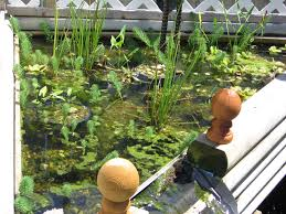 native pond plants for sale pond plants on the cheap 4 steps