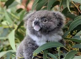 archer koala featherdale wildlife park sydney australia