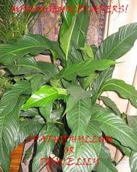 my household capers gardening easy care indoor plants