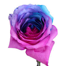 turquoise roses pink and purple rainbow roses