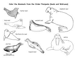 coloring page for walrus seals sea lions and walrus order pinnipeda coloring page