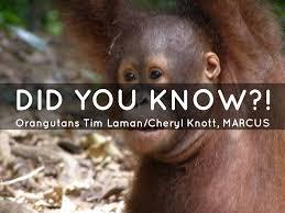 bentley orangutan social media marcus u0026 jayton by mxio263077