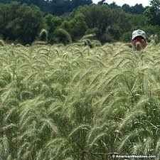 canada rye grass seeds elymus canadensis american