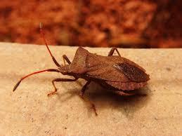 was ist das für ein insekt eine wanze oder was urlaub insekten blattwanze insekt wanze kostenloses foto auf pixabay