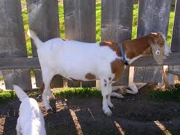 show a goat in 4h goats farming and animal