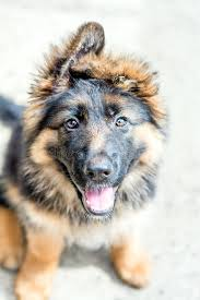 german shepherd puppy stock photo image 42102456