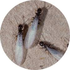 Winged Termites In Bathroom White Winged Flying Insects Id