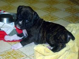 boxer dog reverse brindle what boxer color do you perfer archive pet talk