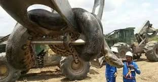 vidio film ular anaconda viral video shows construction workers finding scary 33 ft anaconda